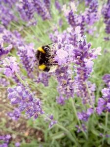 Lavendelhumla1